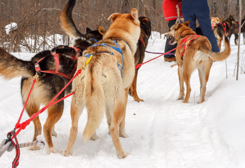 Dogs ready to go dogsledding